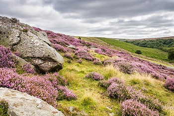 Goathland Moor Heather and Crags
